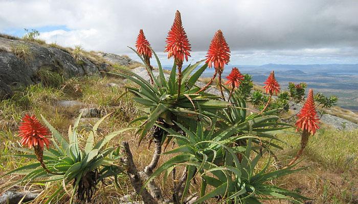 Aloe candelabro