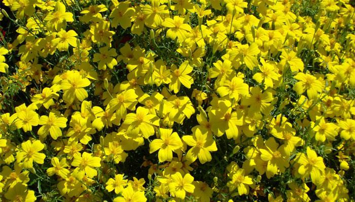 Alyssum alpino amarillo