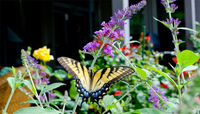 Arbusto de las mariposas