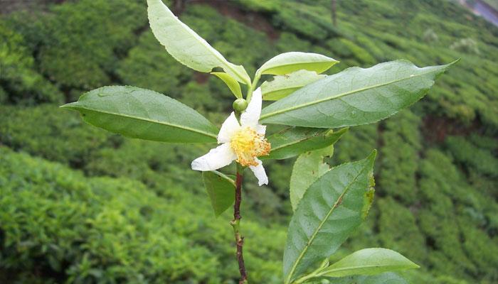 Camellia sinensis es la planta con la cual se hace el té verde