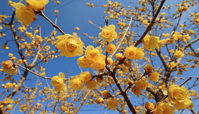 arbusto que florece en invierno