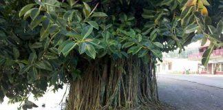 Gomero (Ficus elastica)