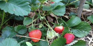 Plantas que producen frutos