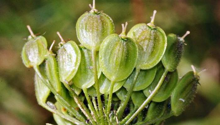 Heracleum_sphondylium-fruto
