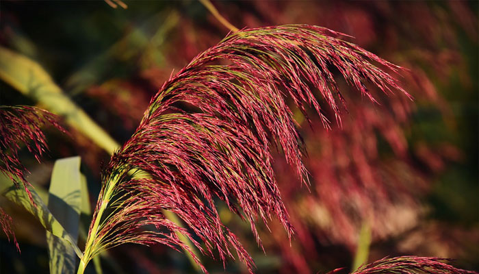 Hierba Pluma Reed