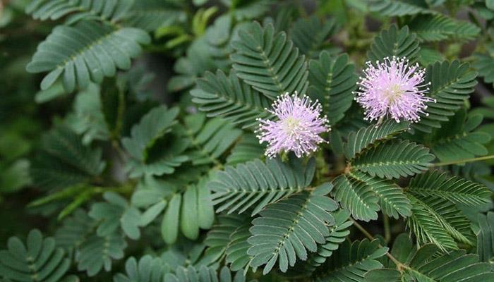 Follaje de la Mimosa Sensitiva