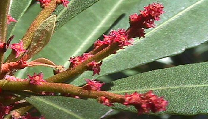 Flores de Morella faya