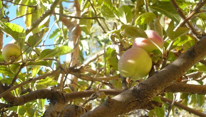 origen del nectarino