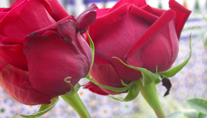 Las rosas son plantas que rejuvenecen