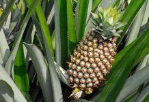 ananas comosus (piña)