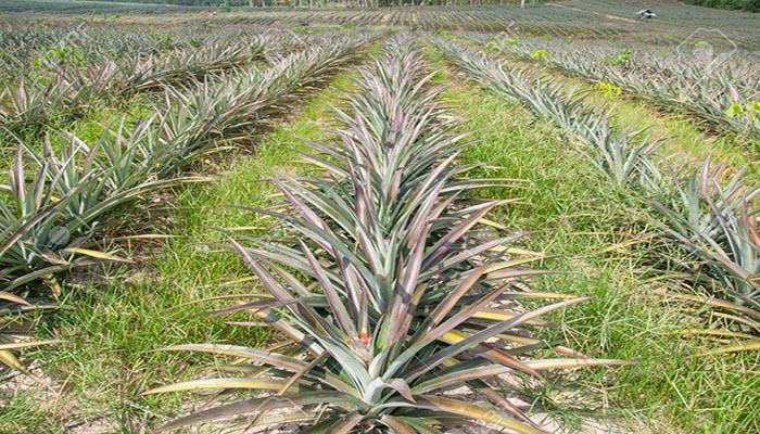 Cultivo de Ananas Comosus