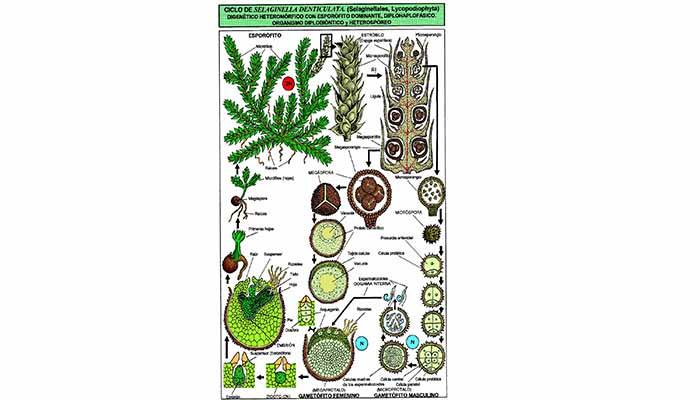 Características detallada de la Selaginella