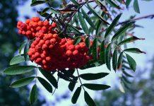 Azarollo (Sorbus aucuparia)