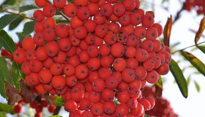 Frutos de Azarollo