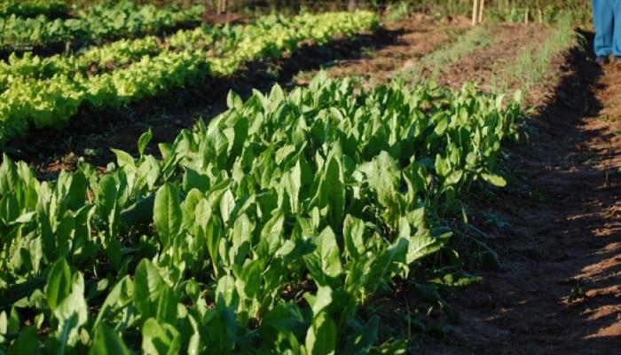 Cultivo de Almirón (Achicoria)