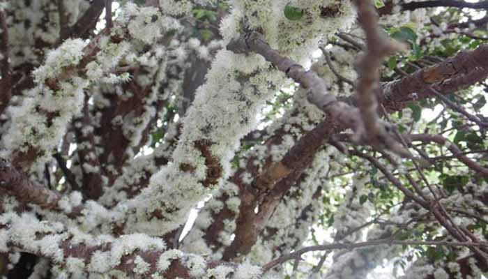 flores de jaboticaba