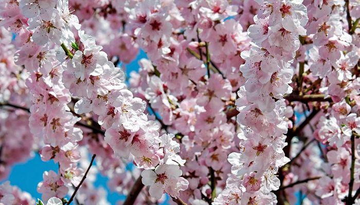 origen de la rosa japonesa
