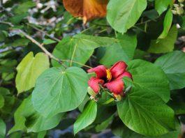 Flores de Majagua (Talipariti Elatum)