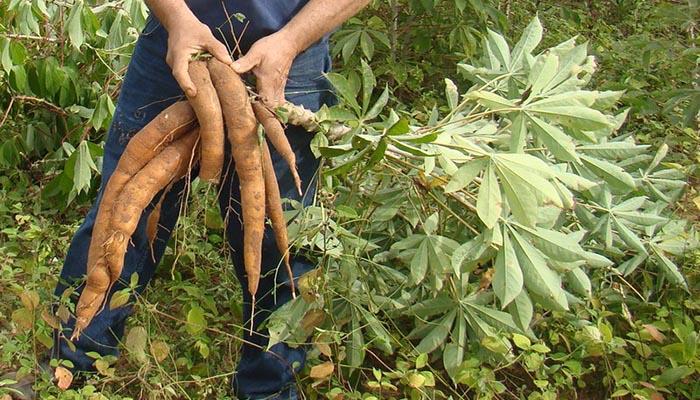 Cultivo de Salsifí (Tragopogon porrifolius)
