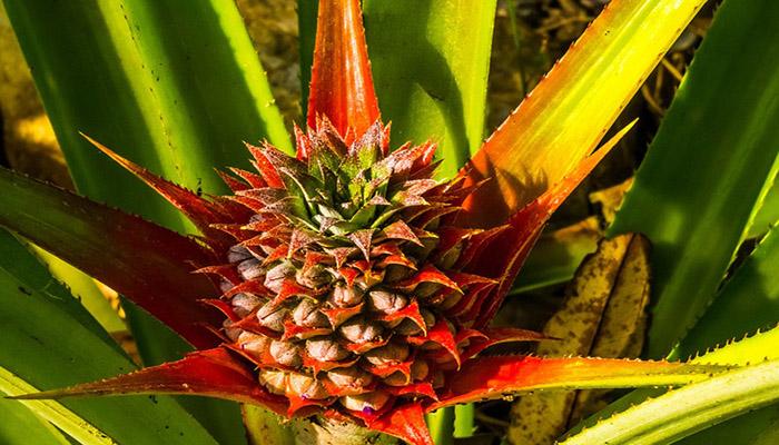 Piña con escapo floral