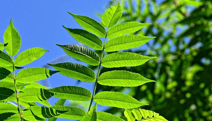 Clorofila presente en las plantas