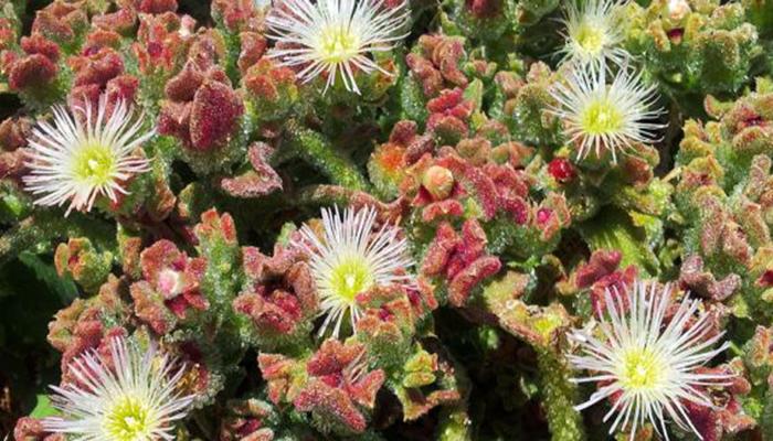 Flores de Mesembryanthemum Crystallinum