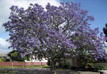 Tarco (Jacaranda mimosifolia)