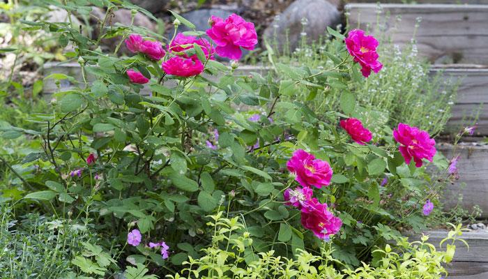 Rosa de castilla (Rosa gallica)