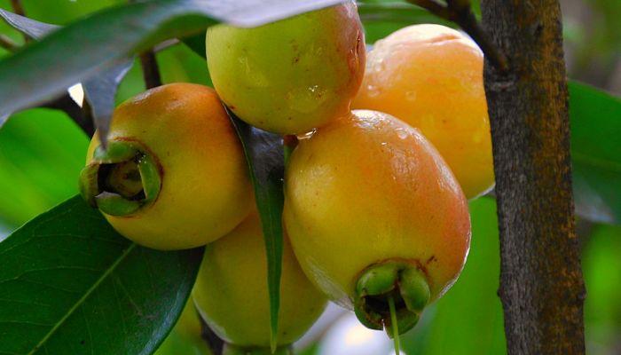 cosecha de la manzana rosa