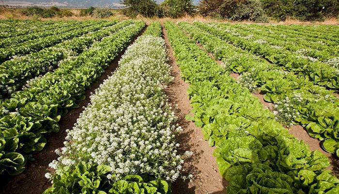 Cultivo de Lactuca sativa