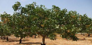Árbol de Pistachos (Pistacia vera)