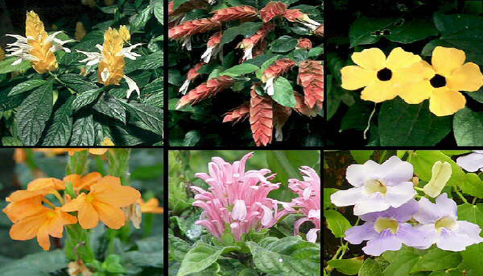 Variedades de Thunbergia grandiflora