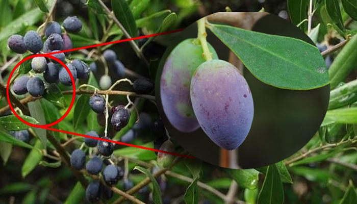 Frutos de Ullastre (Olea europaea L. var. sylvestris)