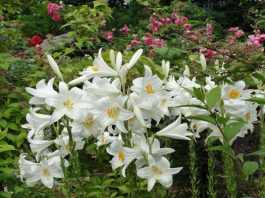 Azucena (Lilium Candidum)