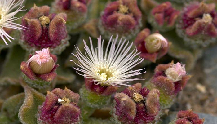 Barrilla (Mesembryanthemum Crystallinum)