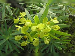 Tolda (tabaiba salvaje: Euphorbia regis-jubae)