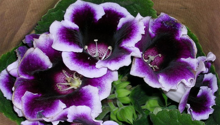 Flores de Sinningia speciosa