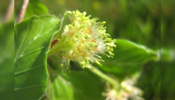Flores de fagus sylvatica