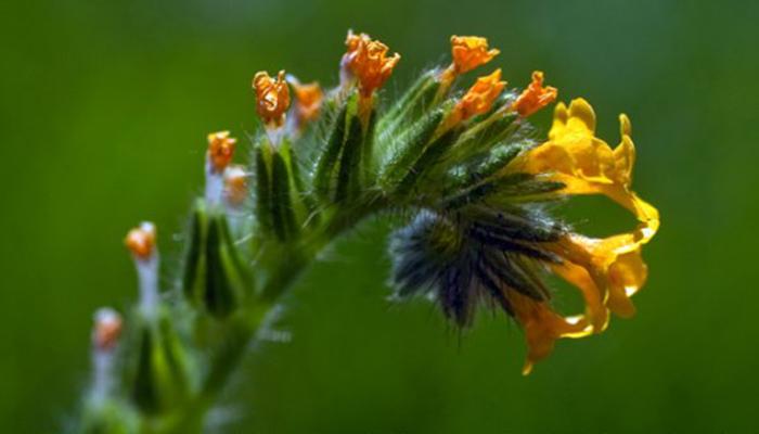 Flores de Lupino