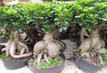 Laurel de Indias (Ficus microcarpa)
