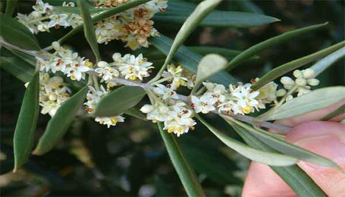 Flores de Olea europea