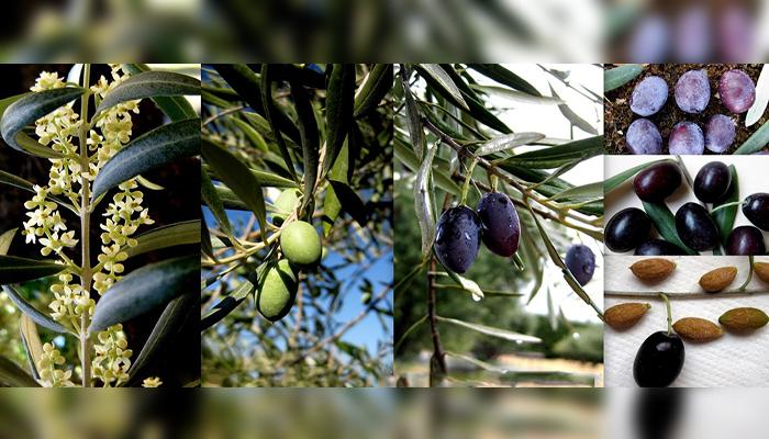 Ullastre (Olea europaea L. var. sylvestris)