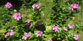 Vinca rosa (Catharanthus roseus)
