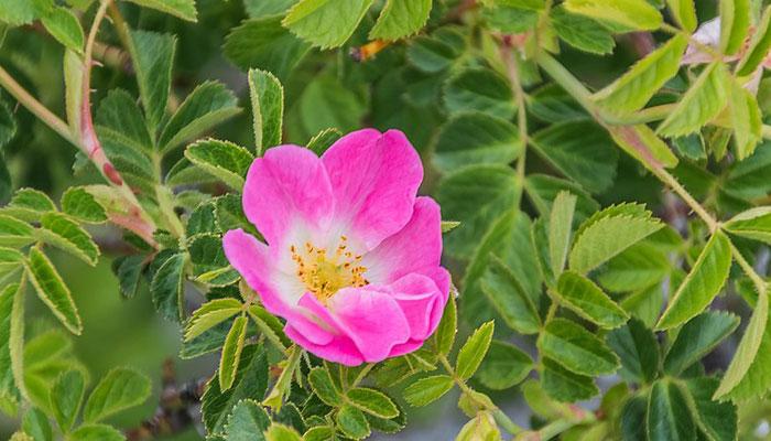 La Rosa mosqueta forma matorrales densos