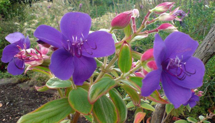 Flor de princesa