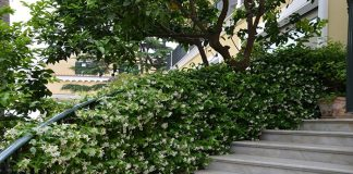 Trachelospermum en escaleras