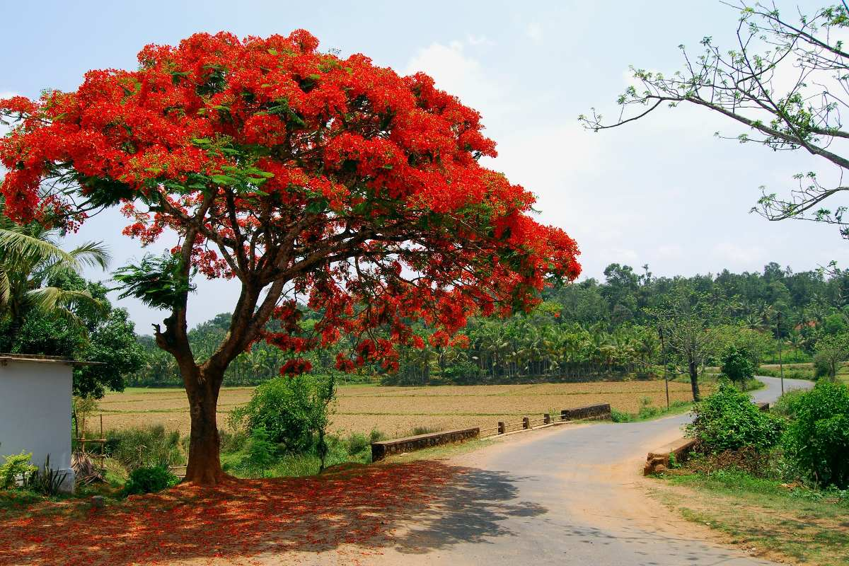 acacia roja