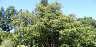 Alcanfor (Cinnamomum camphora)