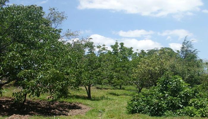 Cultivo de arboles de la nuez de castilla