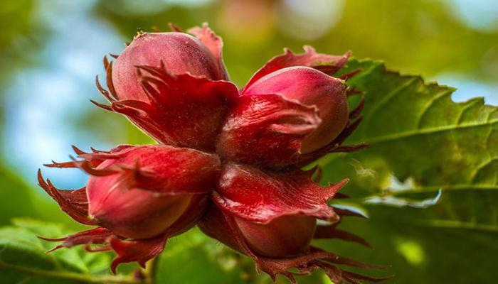 Flor femenina de la nuez de castilla